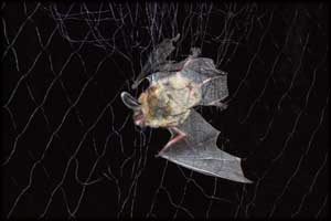 longeared bat in net