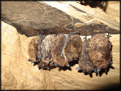A cluster of hibernating little brown myotis